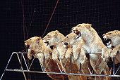 Roaring lionesses in circus arena