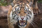 Male adult sumatran tiger roar from shutter click sounds.