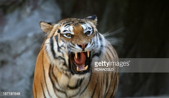 Roaring tiger with motion blur