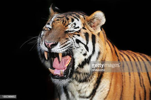 Roaring Tiger XXXL