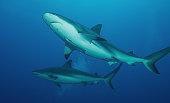 Roatan - Caribbean Reef Sharks