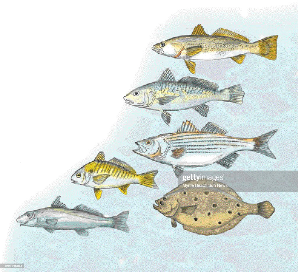 Rob Smoak color illustration of common fish weakfish Atlantic croaker striped bass spot summer flounder whiting The Sun News /MCT via Getty Images