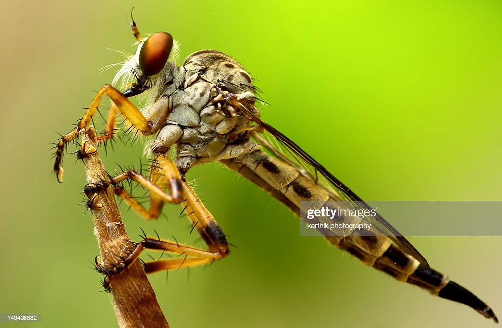Robber Fly : Stock Photo