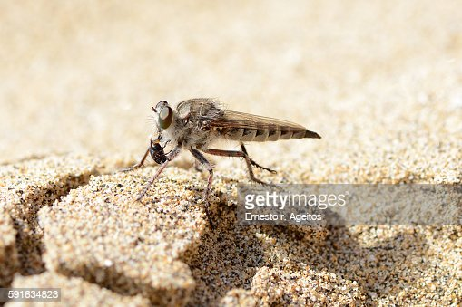 Robber fly with prey, La Graciosa, Canary islands : Stock Photo