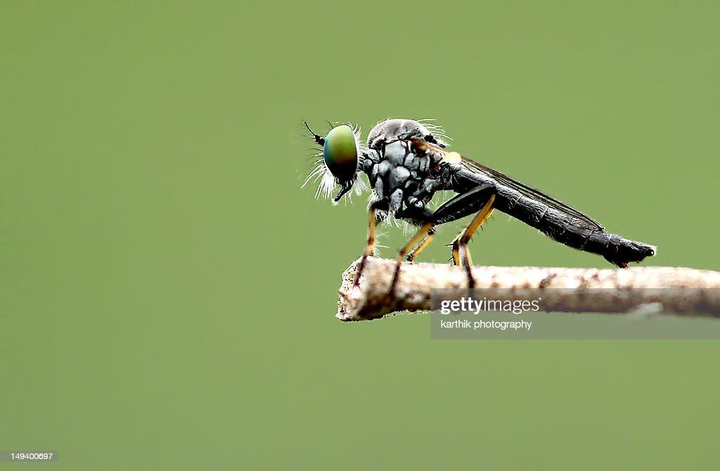 Robberfly : Stock Photo
