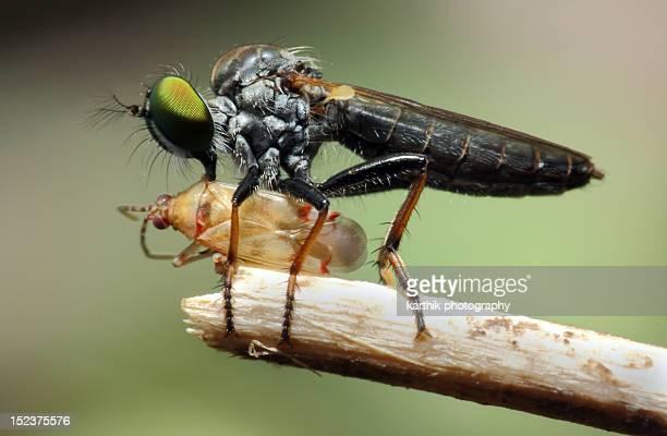 Robberfly With Kill