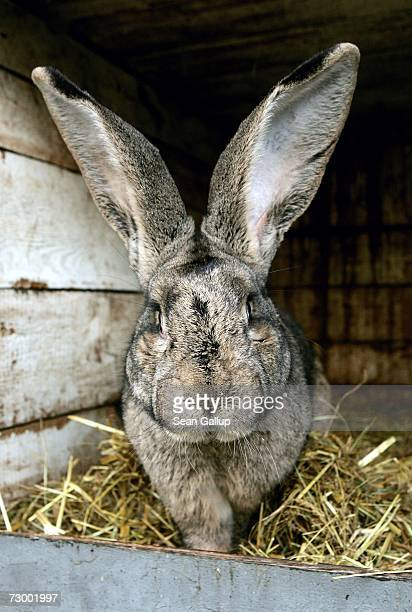 Robert 2 an 85kg Giant Grey rabbit sits in its cage at pensioner Karl Szmolinsky's home on January 15 2007 in Eberswalde Germany In November 2006...