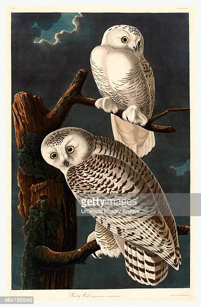 Robert Havell After John James Audubon Snowy Owl Hand Colored Etching And Aquatint