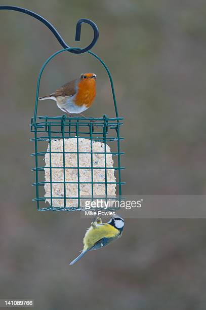 Robin and Blue tit perched on fat feeder Norfolk