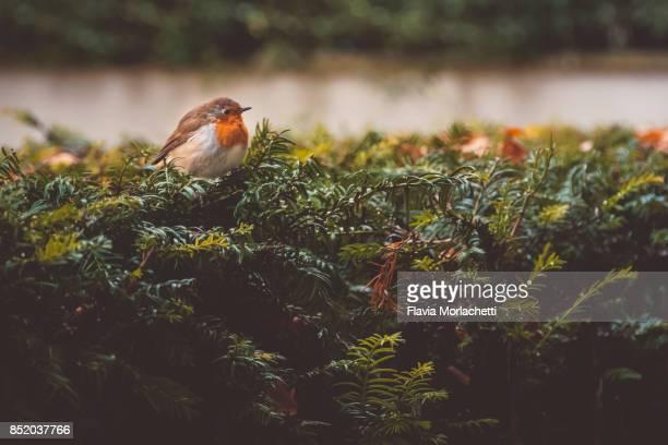 Robin bird in bushes during autumn
