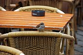 Robin bird perched on cafe chair