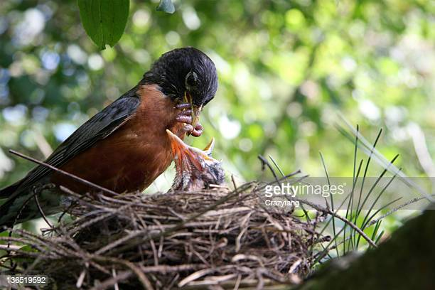 Robin feeding offspring