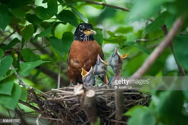 Robin Feeding Offspring
