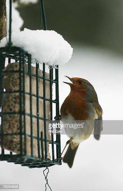 Robin feeds itself after on February 8 2007 in Carshalton Beeches England Travel chaos grips Southern England as heavy snow fell overnight runways at...