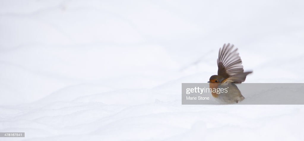 Robin flying in snowy landscape : Stock Photo