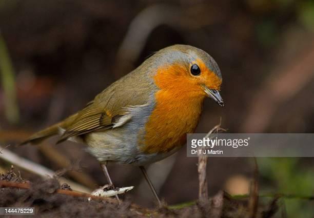 Robin hunting worms