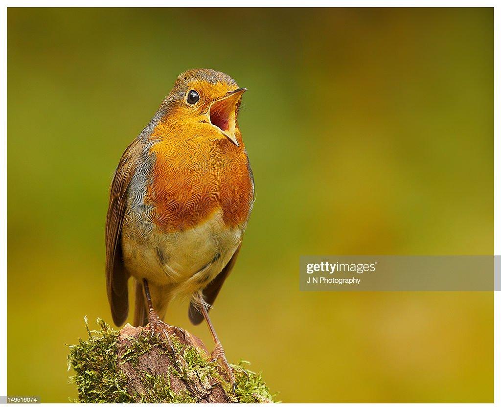 Robin in full chorus