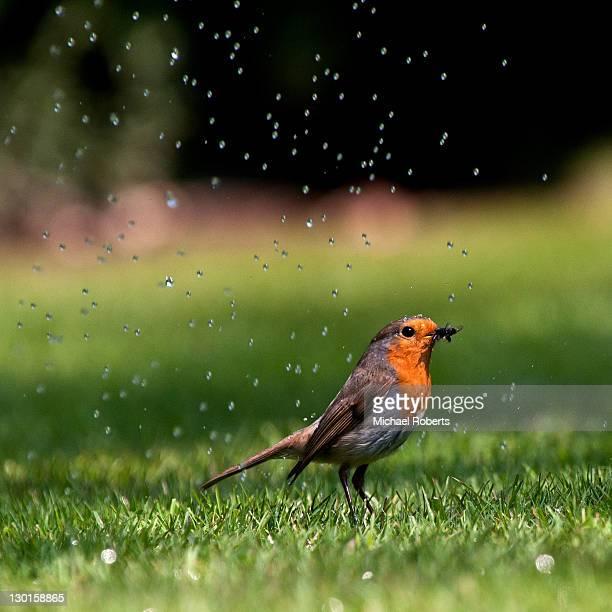 Robin in rain
