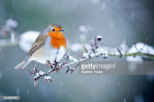 Robin in Snow Fall