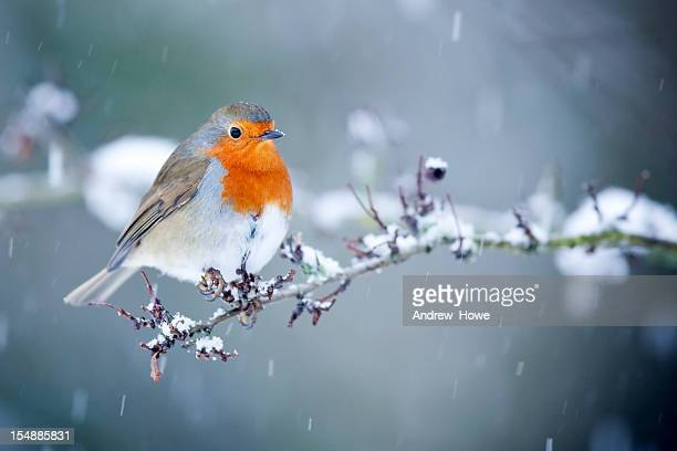 Robin in Snow Fall