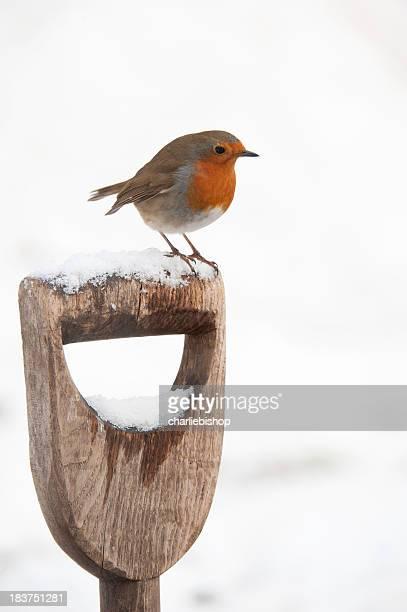Robin in snow perching on a garden spade