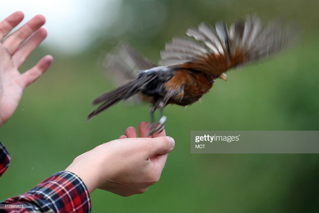 A robin is freed in a remote area of St. Casimir Cemetery in Alsip, Illinois, July 30, 2009. The bird's blood and notes recorded about its appearance and condition are part of a research project to determine why West Nile virus and other mosquito-borne diseases are prevalent in the suburbs south of Chicago.