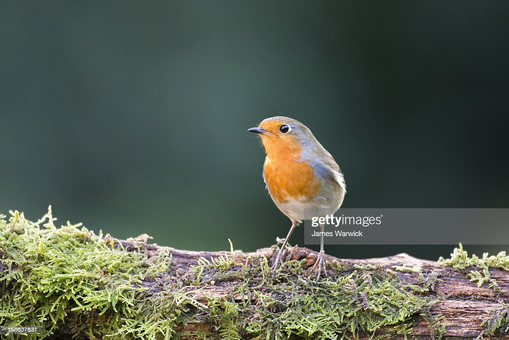 Robin on moss-covered log : Stock Photo