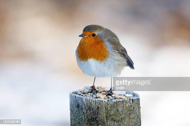 Robin on snowy post