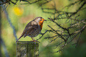 A robin on a post dappled with sunlight.
