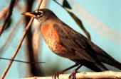 A robin perches on a branch in the Merritt Island National Wildlife Refuge which shares a boundary with the space center Robins range throughout...
