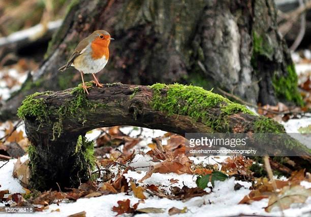 Robin perching on fallen branch