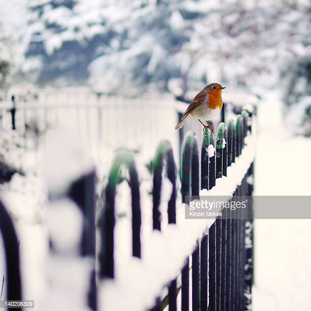 Robin perching on fence in winter