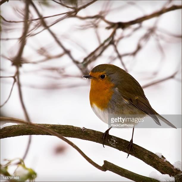 Robin perching on tree branch