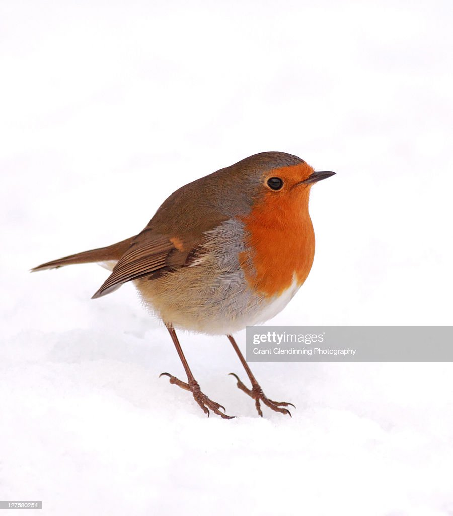 Robin : Stock Photo