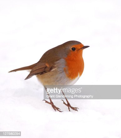 Robin : Stock Photo