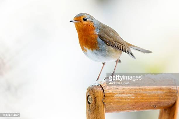 Robin (Erithacus rubecula)