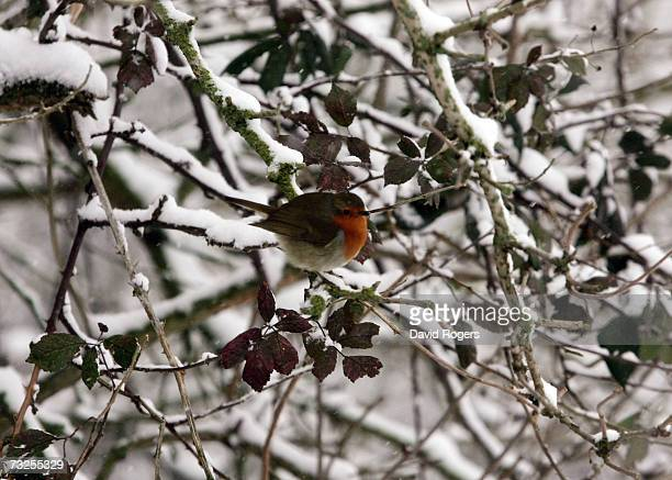 A robin pictured in Abington Park as heavy snowfall sweeps across the country on February 8 in Northampton United Kingdom