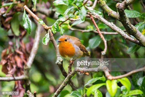 Robin vermelho (Erithacus rubecula peito) : Foto de stock