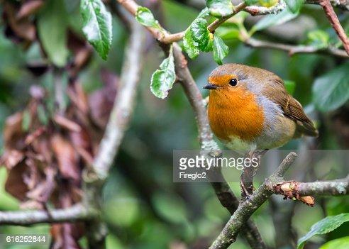 Robin Red Breast (Erithacus rubecula) : Foto de stock