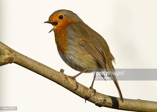 Robin redbreast singing