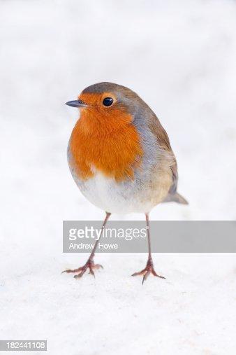 Robin Standing on Snow