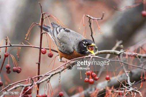 Robin (Turdus migratorius) Swallowing a Whole Crabapple