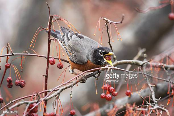 Robin (Turdus migratorius) Swallowing a Whole Crabapple