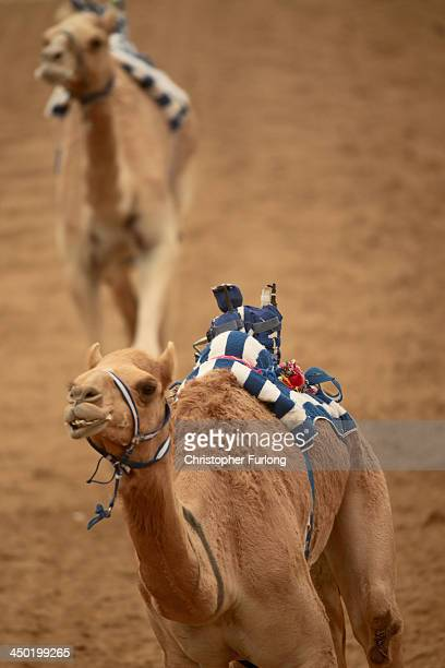 A robotic jockey whips a camel at Dubai Camel Racing Club during the Al Marmoum camel racing season on November 17 2013 in Dubai United Arab Emirates...