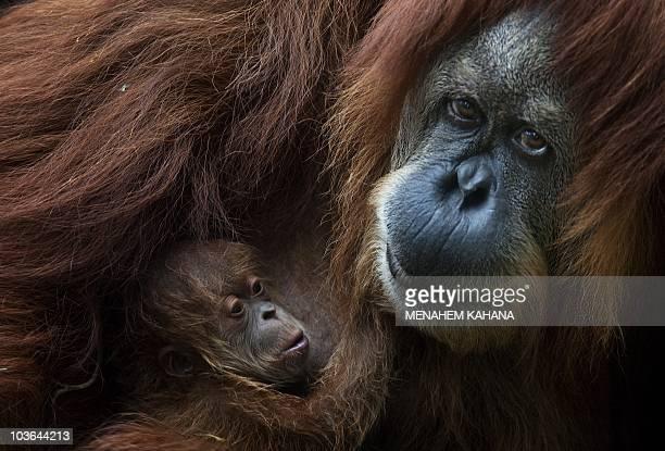Rochale a 41yearold Sumatran Orangutan holds her newly born baby at the Ramat Gan Safari park near Tel Aviv on August 12 2010AFP PHOTO/MENAHEM KAHANA