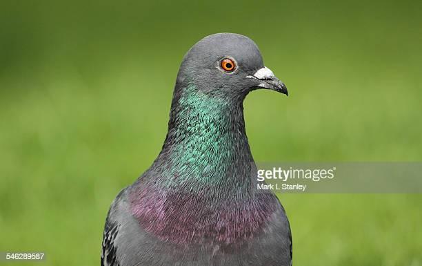 Rock Dove, Feral Pigeon - Columba livia