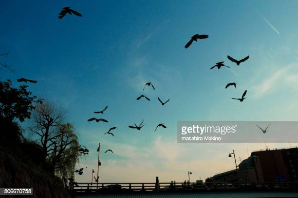 Rock Doves Flying over Kamo River, Kyoto City