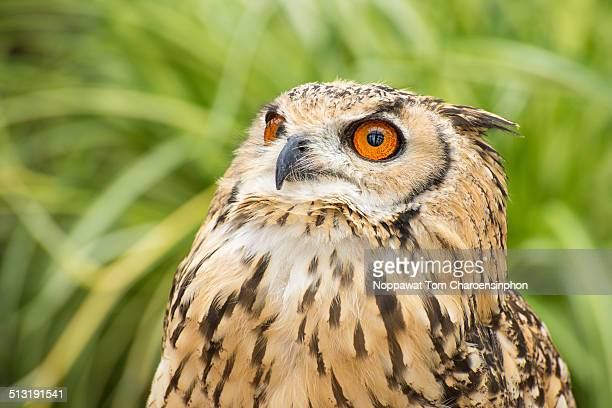 Rock Eagle Owl looking up