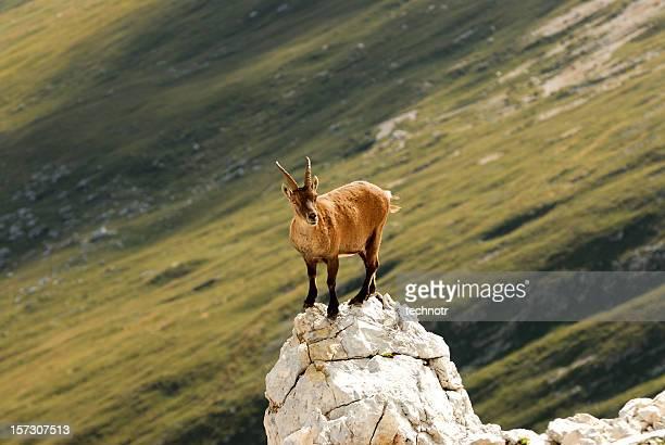 Rock goat, ibex