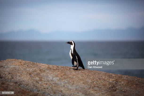 Rock Hopper Penguin typical prey of a Great White Shark sits on a rock on October 13 2009 in Cape Town South Africa The waters off Gansbaai are the...